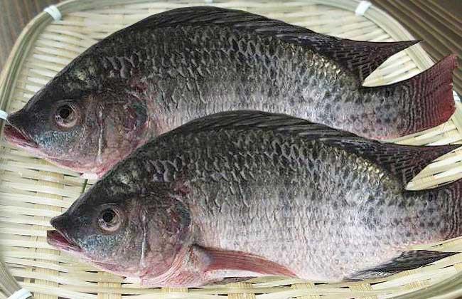 罗非鱼的生活习性