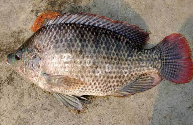 罗非鱼的营养价值