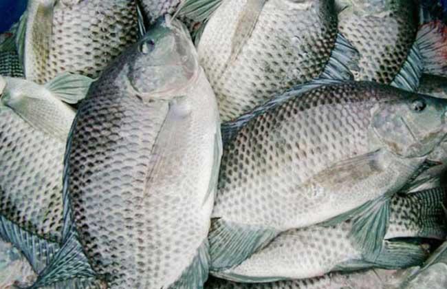 罗非鱼的养殖技术