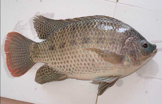罗非鱼繁殖技术