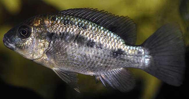 莫桑比克罗非鱼
