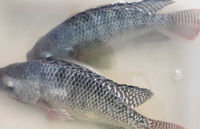 罗非鱼养殖技术