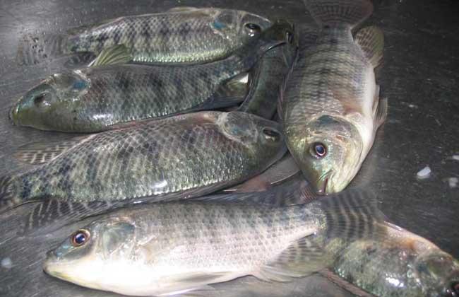 如何降低罗非鱼养殖成本