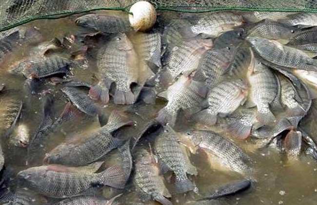 罗非鱼养殖技术视频