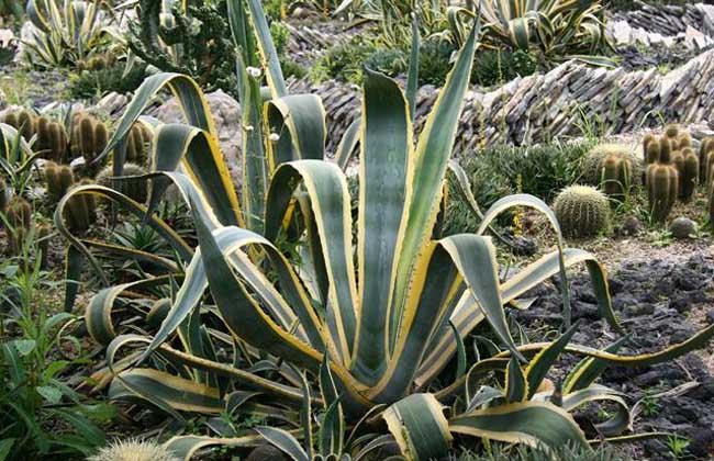 龙舌兰科盆栽植物图片