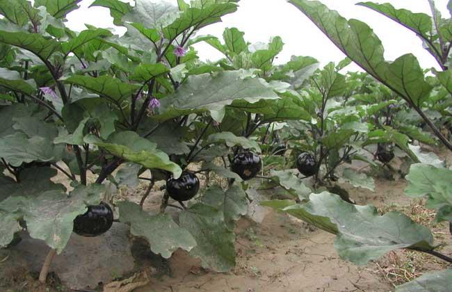 茄子种植技术视频