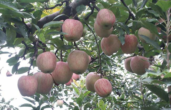苹果树的寿命有多长?
