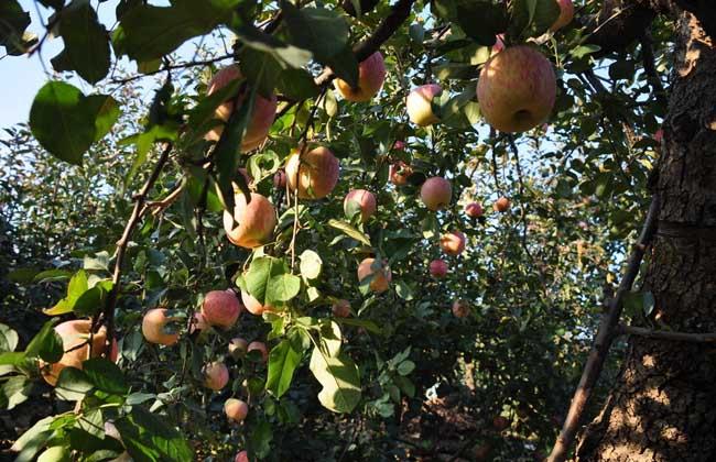 苹果树的寿命有多长