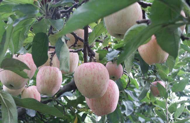 苹果树种植技术