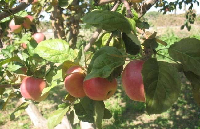 苹果的种植条件