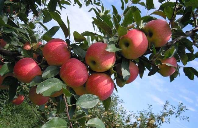 苹果树栽培技术视频