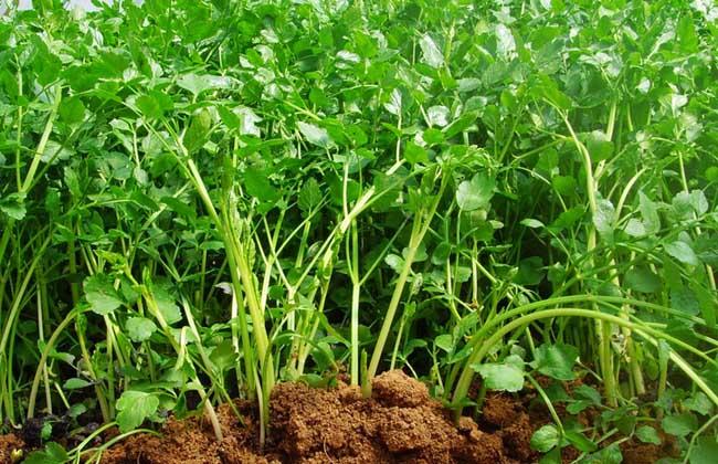 芹菜的种植条件