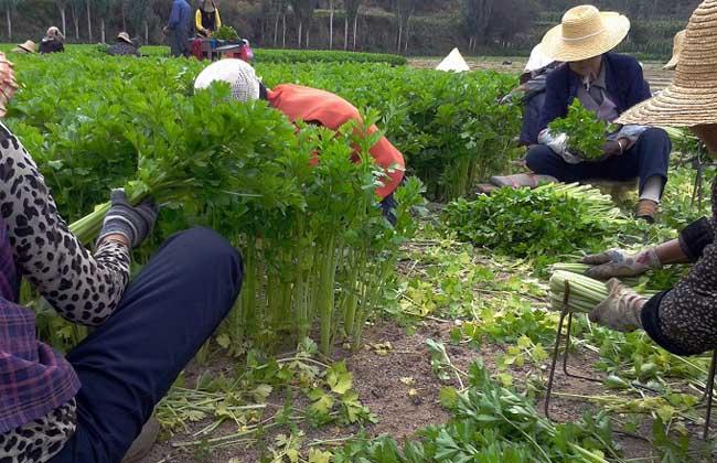 芹菜种植技术视频