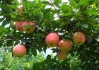 苹果的品种及图片大全