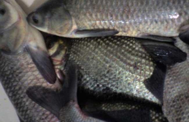 青鱼的繁殖技术