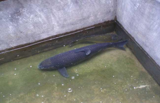 池塘主养青鱼技术