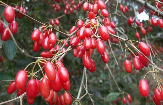 山茱萸的产地分布