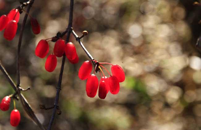 山茱萸种植技术视频