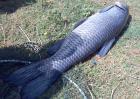 青鱼疾病防治技术