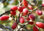 山茱萸种子催芽方法