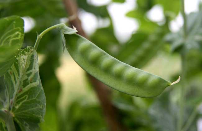 豌豆苗种植技术