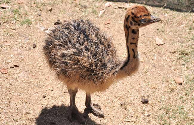 鴕鳥的生長周期