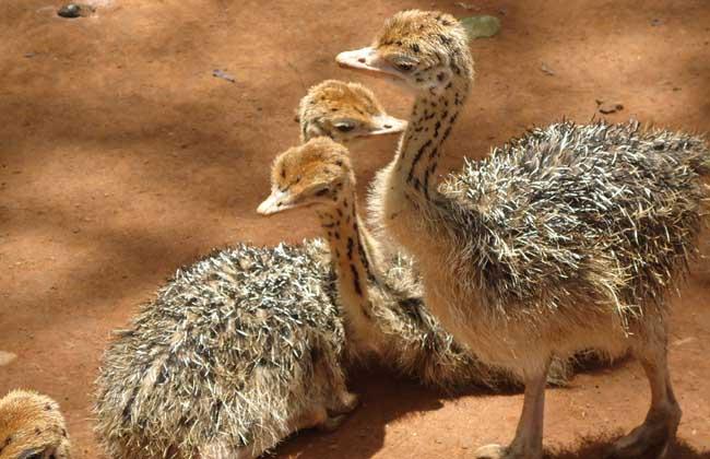 鸵鸟的生长周期