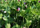 豌豆种植技术视频