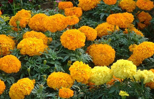 万寿菊的种植技术