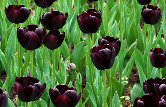 黑色郁金香的花语