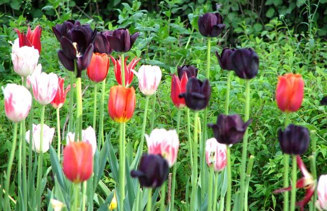郁金香的养殖条件