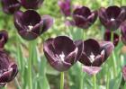 黑色郁金香的花语和故事