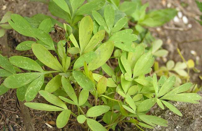 延胡索的种植前景和种植效益