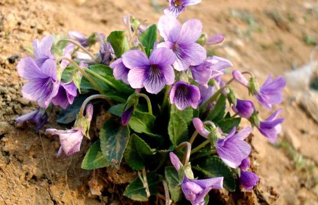 紫罗兰的生长习性