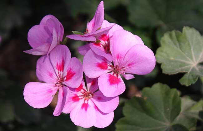 紫罗兰的繁殖方法