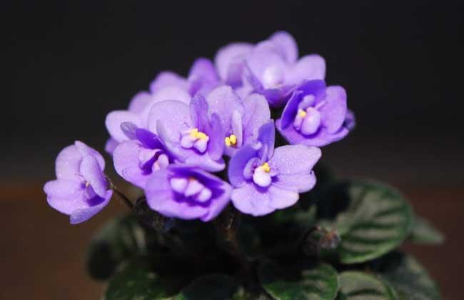 非洲紫罗兰的花语和故事