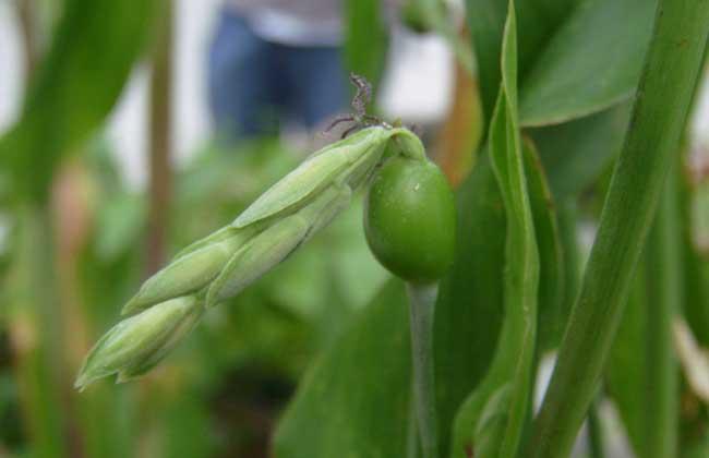 薏苡种植技术视频