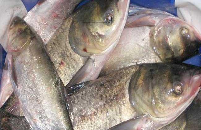 鲢鱼的养殖技术
