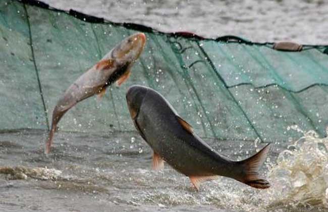 鲢鱼吃什么食物