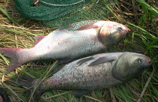 钓鲢鱼的饵料配方