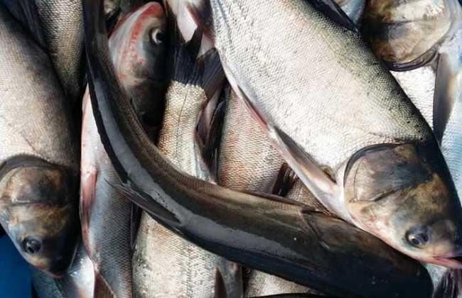 鲢鱼疾病防治技术