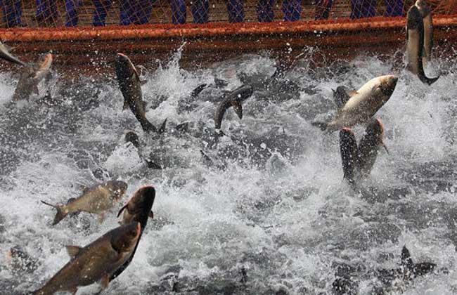 鲢鱼养殖技术视频