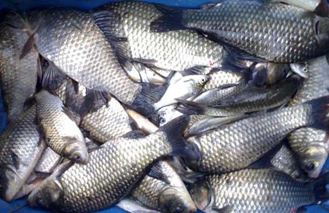 鲫鱼养殖技术视频