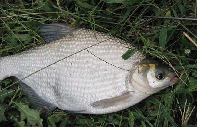 鳊鱼吃什么食物