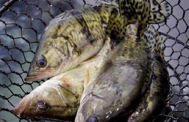 鳜鱼的养殖技术