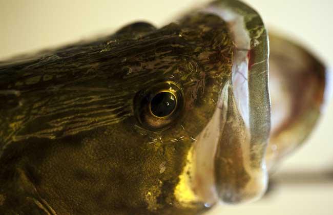 鳜鱼品种图片大全
