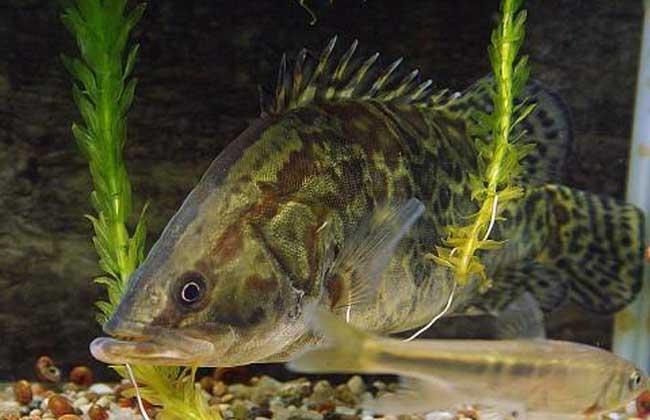 鳜鱼苗种培育技术