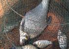 鳊鱼的种类和图片