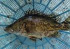 鳜鱼和桂鱼的区别