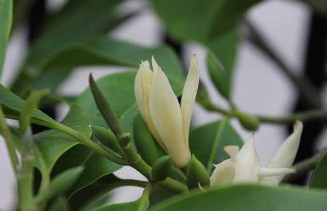 白兰花的生长环境